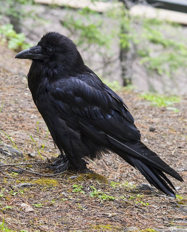 Common Raven in Alberta, Canada by Dan Arndt
