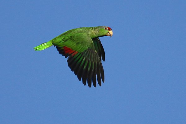 flying Red-crowned Parrot
