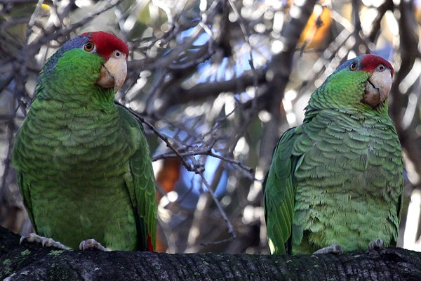 Red-crowned Parrots Amazona viridigenalis