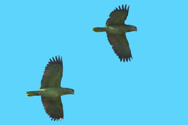 Red-crowned Parrots flying past