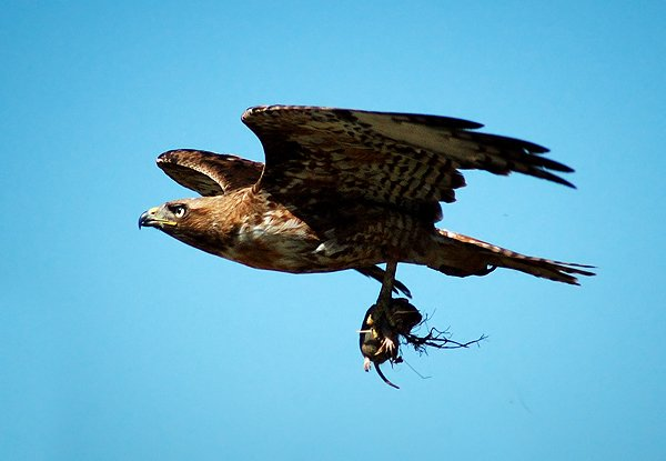 Red-tailed Hawk flying with food by Walter Kitundu