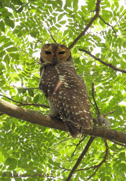SIN 30Jan12 Spoted Wood-owl 02