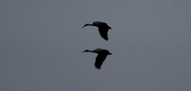 Sandhill Cranes flying with their feet tucked up