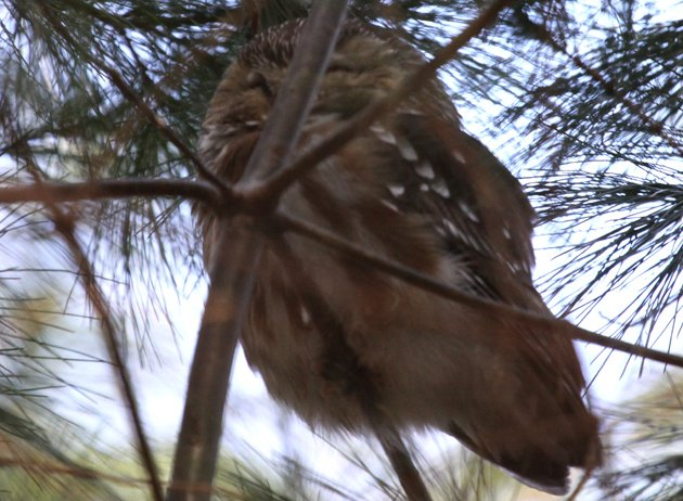 Saw-whet Owl in Forest Park