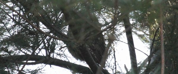 Saw-whet Owl in Pelham Bay Park