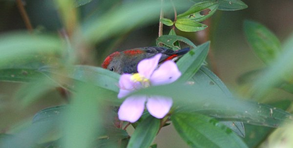 Sexy Scarlet-backed Flowerpecker