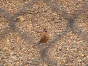 Spinifex Pigeon-race ferruginea (2)
