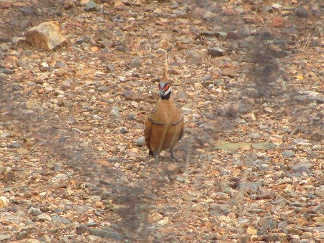 Spinifex Pigeon-race ferruginea (5)