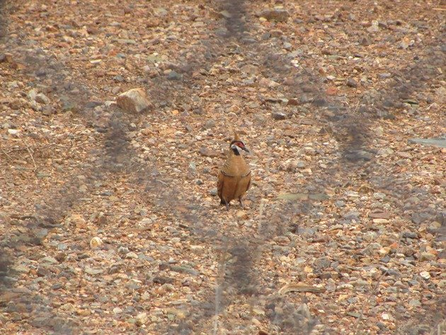Spinifex Pigeon-race ferruginea (7)