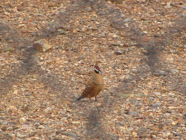Spinifex Pigeon-race ferruginea