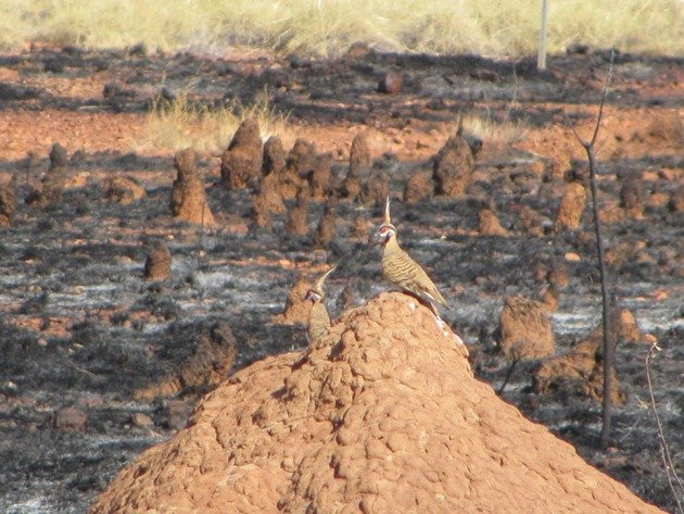 Spinifex Pigeon-race plumifera