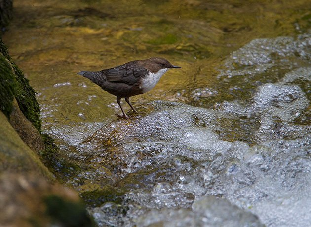 White-throated Dipper by Francois Portmann