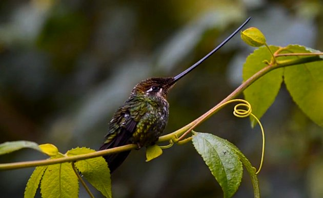 Swordbilled_Hummingbird