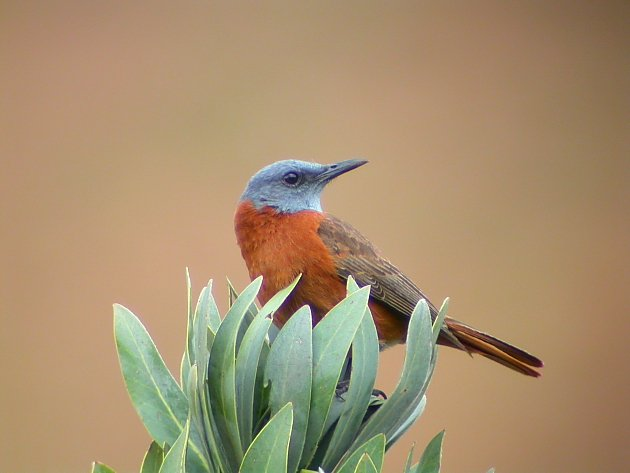 Cape Rock Thrush by Adam Riley