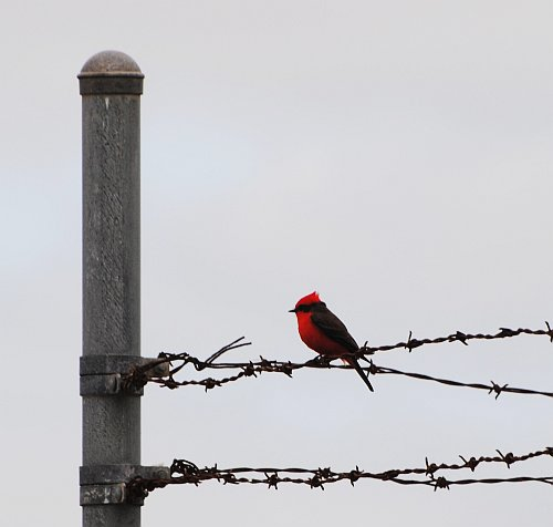 Vermilion Flycatcher_1Jan2013_Miami-DadeFL