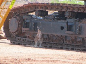 Wallaby & excavator