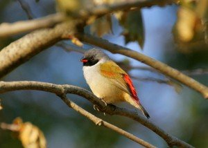Swee Waxbill by Adam Riley
