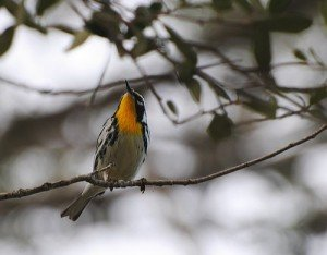 Yellow-throated Warbler_1Jan2013_Miami-DadeFL