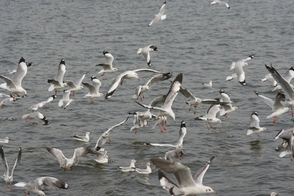 Brown-headed Gulls flying