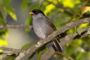 The endemic Bush Blackcap by Adam Riley