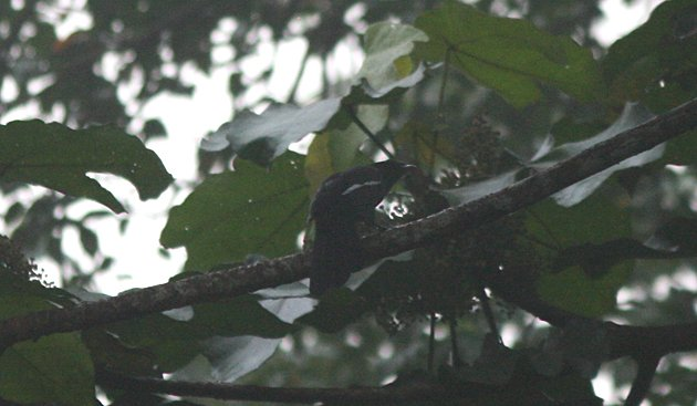 Lousy photo of a Black Magpie