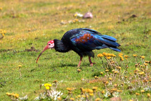 Southern Bald Ibis photographed in the highland grasslands above Sani Pass by Adam Riley