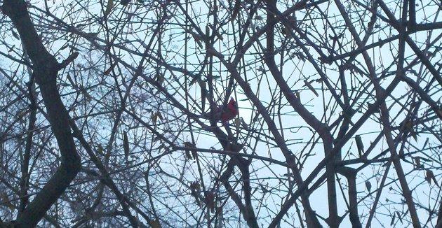 Mason's Cardinal