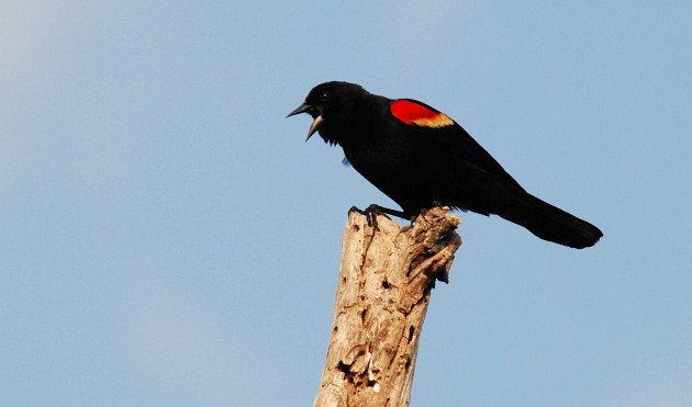 Red-winged Blackbird by David J. Ringer