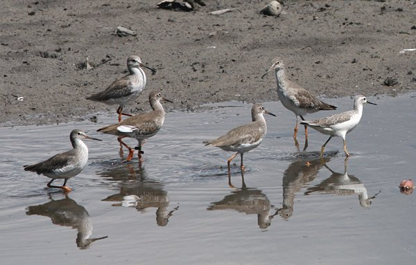 Can you identify the shorebird without red shanks here?