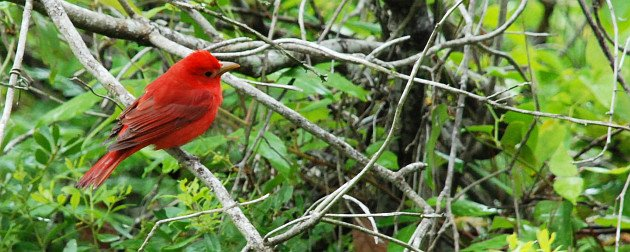 Summer Tanager by David J. Ringer
