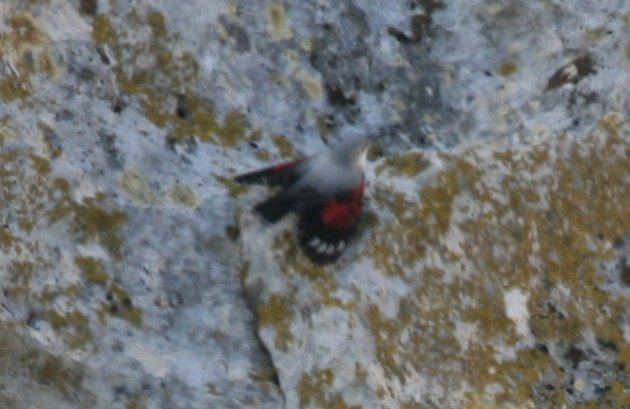 wallcreeper1