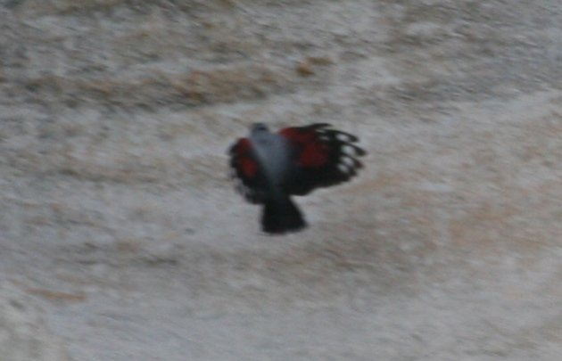 wallcreeper5