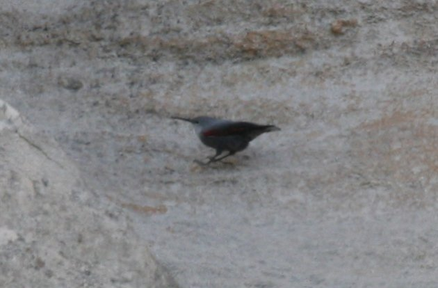 wallcreeper6