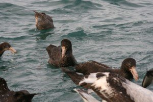 young giant petrel