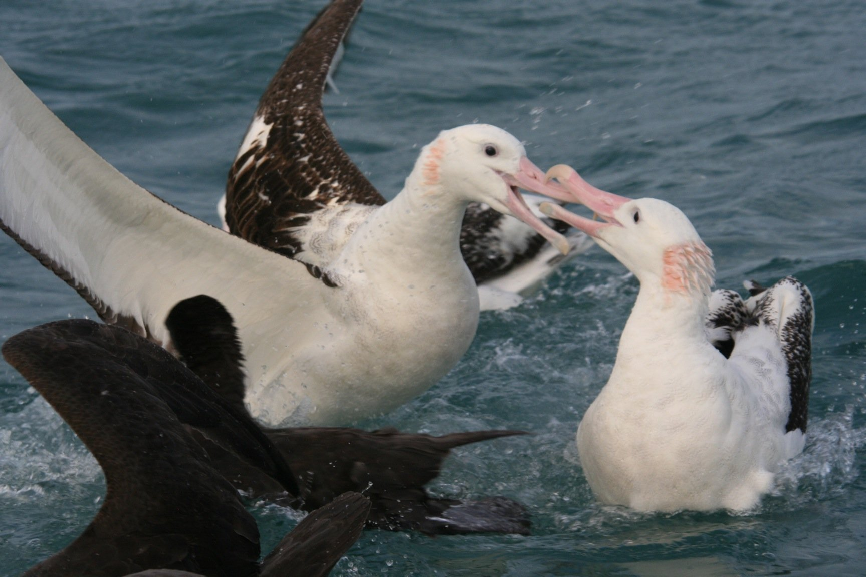 Antipodean albatross fight