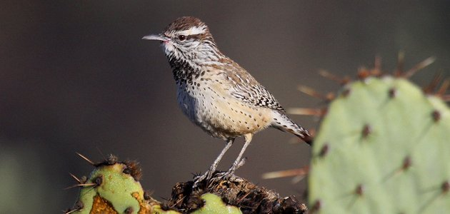 Cactus Wren on Prickly Pear Cactus