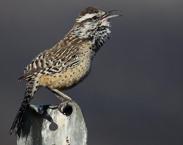 Cactus Wren on metal post