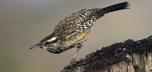 Cactus Wren taking off from a wooden post