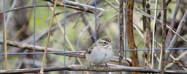 Clay-colored Sparrow Spizella pallida