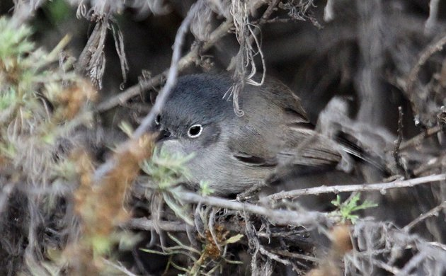 California Gnatcatcher Polioptila californica