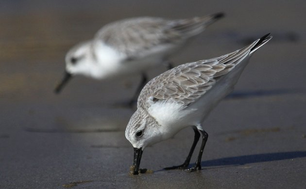 Sanderlings Calidris alba