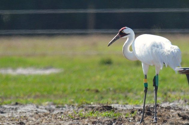 Whooping_Crane