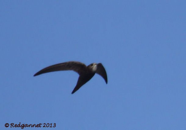 DXB 06Jan13 Pallid Swift 02
