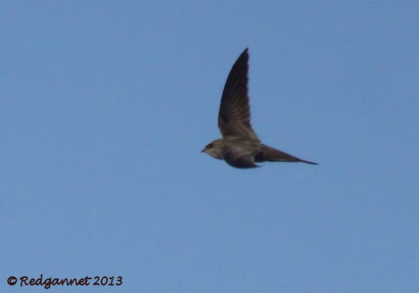 DXB 06Jan13 Pallid Swift 04