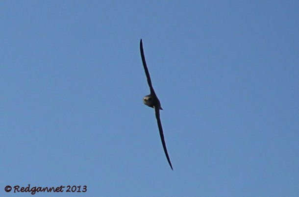 DXB 06Jan13 Pallid Swift 05