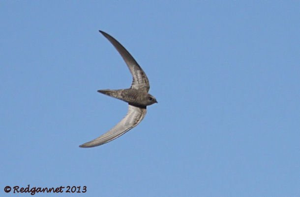 DXB 06Jan13 Pallid Swift 06