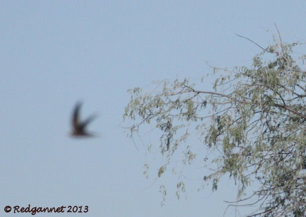 DXB 06Jan13 Pallid Swift 22