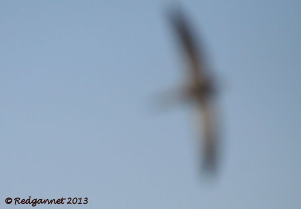 DXB 06Jan13 Pallid Swift 24
