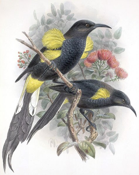 Hawaii Oo by John Gerrard Keulemans