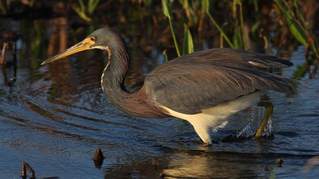 Tricolored Heron - Brevard Co, Fl